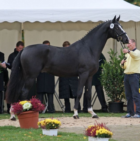 "Outstanding Stallions at 2012 Stallion Licensing and Auction – Don Frederico ""Stallion of the Year 2012"""