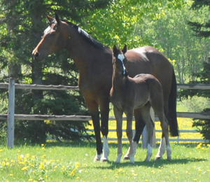 About the Western Canada Hanoverian Breeders Club