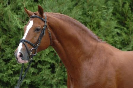 "Canadian Hanoverian Sire ""Viva Voltaire"" has 2 successful offspring at the 2011 Pan Am Games"