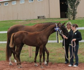 Champion Foal in PEI by Wolkentanz II / SPS Don Gregory, bred by Peter and Regula Strehler