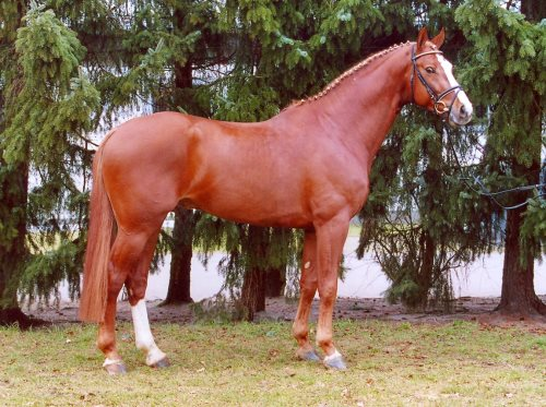 Valentino (Now or Never / Belisar) now standing at stud at Dreamscape Farm, B.C.